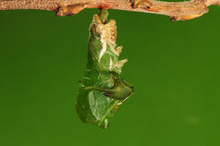 El proceso de 5/8) mariposa del pupation ( Fotos de archivo