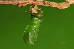 El proceso de 6/8) mariposa del pupation ( Foto de archivo libre de regalías