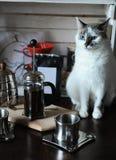 El proceso de preparar el café El gato de ojos azules blanco hace el café en prensa francesa Fotografía de archivo libre de regalías