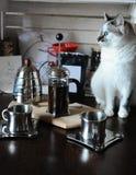 El proceso de preparar el café El gato de ojos azules blanco hace el café en prensa francesa Imagenes de archivo