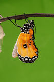 El proceso del eclosion (12/13) el intento de la mariposa a taladrar de shell del capullo, de crisálidas da vuelta en mariposa Foto de archivo