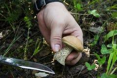 El proliferar rápidamente - la mano con un cuchillo cortó el boleto del casquillo Mushroo grande Imágenes de archivo libres de regalías