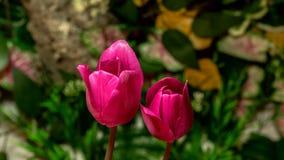 El prosperar de las flores del tulipán almacen de metraje de vídeo