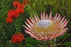 El protea floreciente grande hermoso en Suráfrica rodeó por el cordifolium de Leucospermum Imágenes de archivo libres de regalías