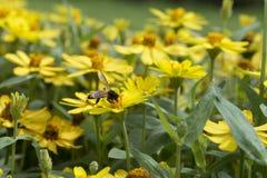 El pulular de la abeja de la miel Fotos de archivo libres de regalías