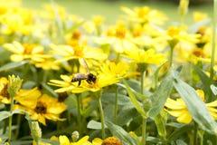 El pulular de la abeja de la miel Imagen de archivo libre de regalías