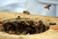 El pulular de las abejas de la miel Fotos de archivo