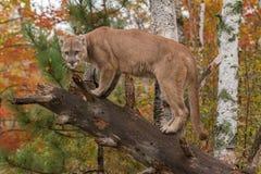 El puma del varón adulto (concolor del puma) se deslumbra de árbol tragado imagenes de archivo