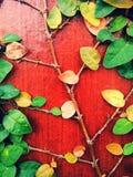 El pumila de los ficus es una especie de planta floreciente en el Moraceae de la familia, nativa al Este de Asia Es una vid imper Imagen de archivo