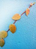 El pumila de los ficus es una especie de planta floreciente en el Moraceae de la familia, nativa al Este de Asia Es una vid imper Foto de archivo