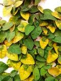 El pumila de los ficus es una especie de planta floreciente en el Moraceae de la familia, nativa al Este de Asia Es una vid imper Fotografía de archivo libre de regalías