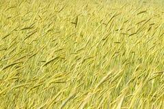 El punto del trigo se madura en el piso como fondo Fotografía de archivo