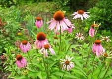 El purpurea púrpura colorido del Echinacea del coneflower florece en el jardín amistoso de la abeja Echinacea: Ventajas, aplicaci Fotografía de archivo