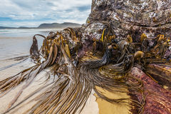 El quelpo enorme del toro en las rocas de la catedral excava la playa, Catlins, N Imagen de archivo
