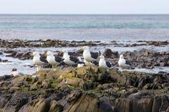 El quelpo Gulls en una roca en la costa de Falkland Islands Fotografía de archivo libre de regalías