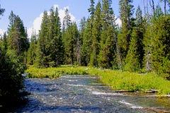 El río de precipitación fluye entre los árboles de pino en un bosque Fotografía de archivo libre de regalías