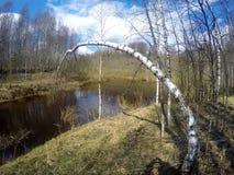 El río en la madera de la primavera, un abedul dobló sobre el agua Imagen de archivo
