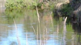 El río fluye a través del bosque, las sacudidas del viento la hierba metrajes