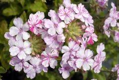 El racimo de blanco con rojo raya las flores de la verbena Foto de archivo