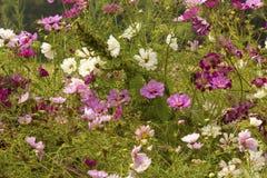 El racimo de dalia florece en un jardín de Connecticut del verano Fotografía de archivo libre de regalías