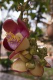 El racimo de flor del árbol de Raing Phnom encontró en argumentos de la pagoda foto de archivo libre de regalías