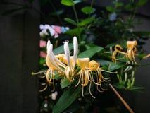 El racimo de la flor marchitada Foto de archivo libre de regalías