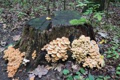 El racimo de muchos madera-decaimiento amarillo prolifera rápidamente creciendo en un tocón en el bosque, penacho fungoso venenos Foto de archivo libre de regalías