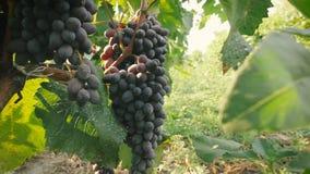 El racimo de uvas en los rayos del sol de la mañana almacen de video