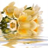 El racimo del Freesia refleja en el agua fotografía de archivo