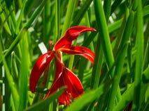 El radiata rojo hermoso de Lycoris, conocido como lirio de la araña roja, lirio mágico rojo, o flor del equinoccio fotos de archivo libres de regalías