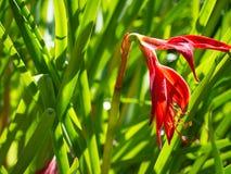 El radiata rojo hermoso de Lycoris, conocido como lirio de la araña roja, lirio mágico rojo, o flor del equinoccio foto de archivo libre de regalías