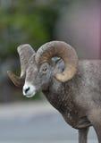 El Ram del Bighorn (oveja) se coloca en estacionamiento Fotografía de archivo libre de regalías