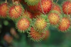 El rambutan rojo está creciendo en el jardín Imagenes de archivo
