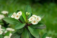 El ramo de euforbio blanco florece la floración en el jardín Imagenes de archivo