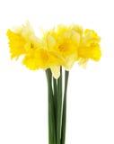 El ramo de la primavera de narcissuses amarillos Foto de archivo libre de regalías