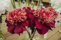 El ramo de peonía roja florece con los pétalos mullidos con los bordes amarillos, en un florero de cristal Foto de archivo