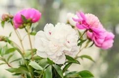El ramo de peonía rosada y blanca florece con los brotes Fotografía de archivo