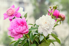 El ramo de peonía rosada y blanca florece con los brotes, Imagenes de archivo