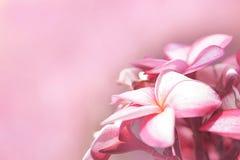 El ramo de plumerias rosados florece a la derecha de pictu imagen de archivo