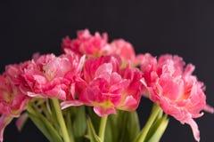 El ramo de rosa coloreó tulipanes con el fondo negro Foto de archivo
