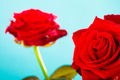 El ramo de rosas rojas florecientes florece en azul Foto de archivo