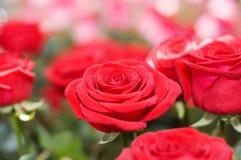 El ramo grande de rosas rojas Foto de archivo libre de regalías