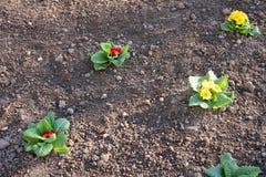 El ramo rojo y amarillo de primavera florece en suelo Imagen de archivo libre de regalías