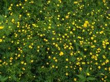El ranúnculo amarillo brillante florece entre la hierba verde Hierba de prado y ranúnculo salvaje Imagen de archivo