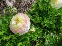 El ranúnculo del color mezclado precioso hermoso o el ranúnculo blanco, amarillo y rosado florece en el parque centenario, Sydney fotos de archivo libres de regalías