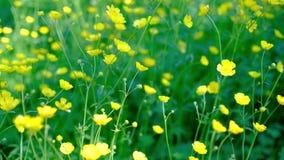 El ranúnculo florece en un campo que agita suavemente en una brisa almacen de metraje de vídeo