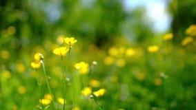 El ranúnculo florece en un campo que agita suavemente en una brisa almacen de video