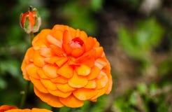 El ranúnculo o el ranúnculo anaranjado precioso florece en un jardín botánico en la estación de primavera imágenes de archivo libres de regalías