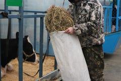 El ranchero del ganado del trabajador de granja de la gente del  del  Ñ de Ñ€ÑƒÑ del  de Ñ alimenta el heno a las vacas en la  fotografía de archivo