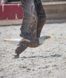 El rapaz de Eagle solamente coge en vuelo un pescado foto de archivo libre de regalías